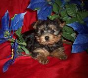 nice Male and female teacup yorkie puppies available